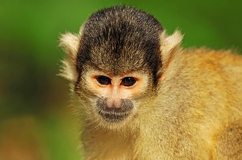 Black-capped squirrel monkey (Saimiri boliviensis), portrait, found in Brazil and Bolivia, captive, Germany, Europe