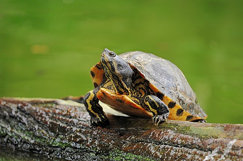 Yellow-bellied slider (Trachemys scripta scripta, Pseudemys scripta scripta), found in North America, introduced to Europe, North Rhine-Westphalia, Germany, Europe