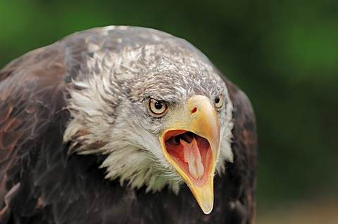 Bald eagle (Haliaeetus leucocephalus), immature, calling, found in North America, captive, Germany, Europe