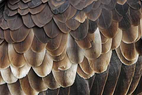 White-headed vulture (Trigonoceps occipitalis, Aegypius occipitalis), detailed view of the plumage, found in Africa, captive, France, Europe