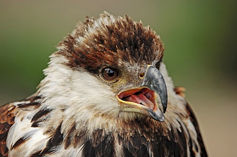 African fish eagle (Haliaeetus vocifer) immature, portrait, found in Africa, captive, France, Europe
