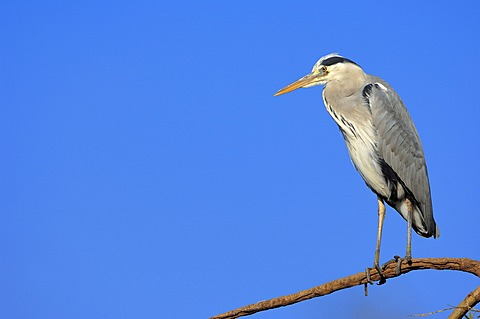 Grey Heron (Ardea cinerea), North Rhine-Westphalia, Germany, Europe