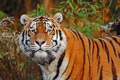 Siberian Tiger or Amur Tiger (Panthera tigris altaica), occurrence in Asia, captive, Netherlands, Europe