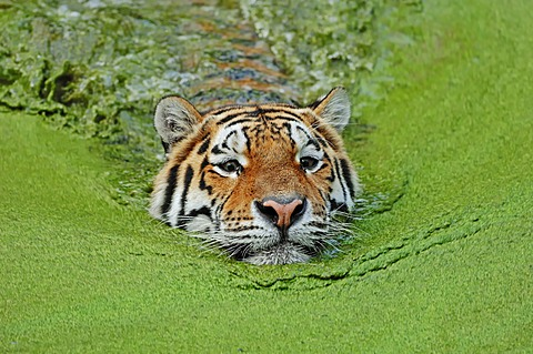 Siberian Tiger or Amur Tiger (Panthera tigris altaica) in water, native to Asia, in captivity, Germany, Europe