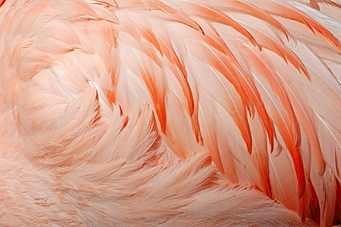 Chilean Flamingo (Phoenicopterus chilensis), plumage detail, native to South America, in captivity, Germany, Europe
