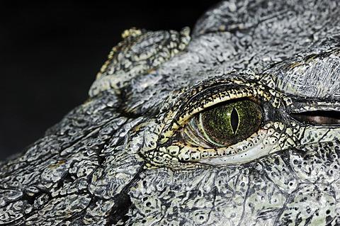 Nile Crocodile (Crocodylus niloticus), eye, native to Africa, in captivity, Germany, Europe