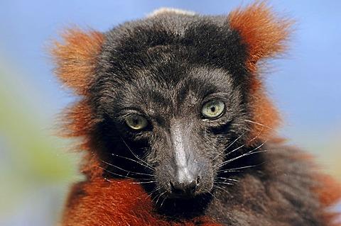 Red Ruffed Lemur (Varecia variegata rubra, Varecia variegata ruber), portrait, Madagascar, Africa