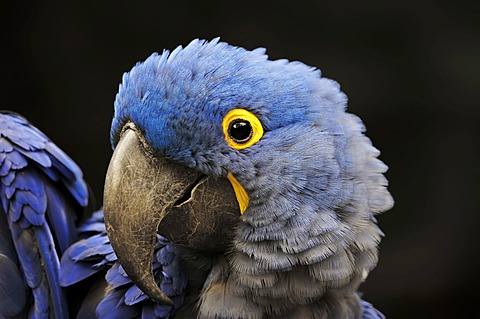 Hyacinth Macaw (Anodorhynchus hyacinthinus), portrait, native to South America, in captivity, Germany, Europe