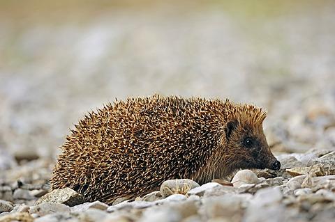 European Hedgehog (Erinaceus europaeus), France, Europe