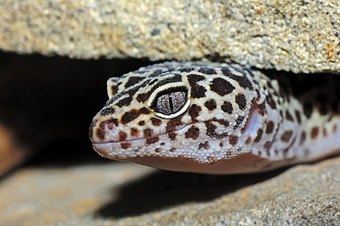 Leopard Gecko (Eublepharis macularius), native to Asia, in captivity, North Rhine-Westphalia, Germany, Europe