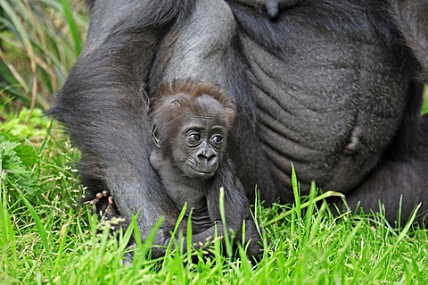 Western Lowland Gorilla (Gorilla gorilla gorilla), juvenile, native to Africa, in captivity, Netherlands, Europe - 832-368122