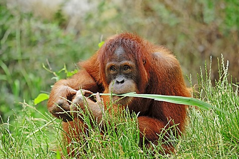Sumatran Orangutan (Pongo pygmaeus abelii, Pongo abelii), juvenile, native to Sumatra, Asia, in captivity, Germany, Europe
