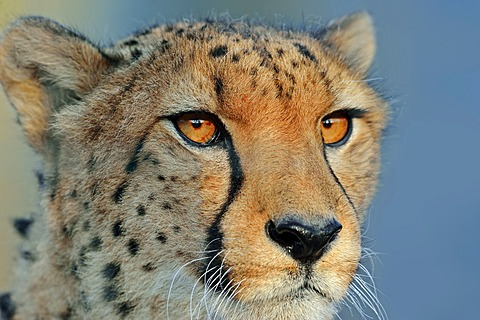 Cheetah (Acinonyx jubatus), portrait, native to Africa, in captivity, Germany, Europe