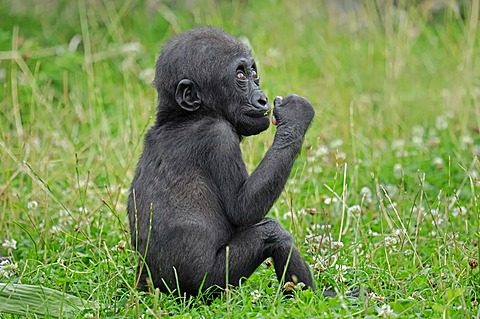 Western Lowland Gorilla (Gorilla gorilla gorilla), juvenile, native to Africa, in captivity, Netherlands, Europe