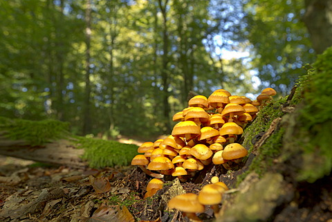 Sheathed Woodtuft (Kuehneromyces mutabilis) growing on a dead tree trunk, Bergisches Land, North Rhine-Westphalia, Germany, Europe