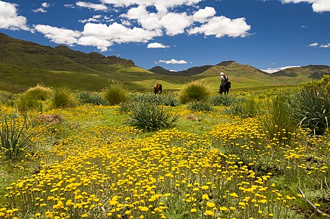 Woman riding across a meadow in the highlands, Drakensberg, Kingdom of Lesotho, southern Africa