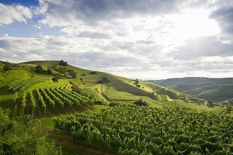 Vineyards near Oberbergen, Kaiserstuhl range, Baden-Wuerttemberg, Germany, Europe