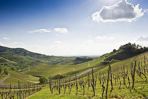 Vineyards and Schloss Staufenberg Castle, Durbach, Ortenau, Black Forest, Baden-Wuerttemberg, Germany, Europe