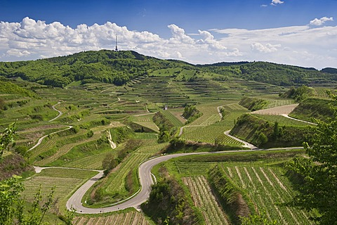 Vineyards near Oberbergen, Kaiserstuhl low mountain range, Baden-Wuerttemberg, Germany, Europe