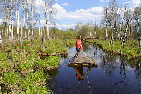 Man standing on a small ferry on a moor lake or bog with birch trees, Benediktbeurer Moor or Moos, Benediktbeuern, Upper Bavaria, Germany, Europe