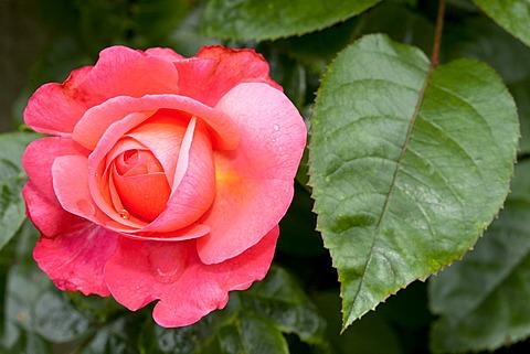 Climbing Rose, Rosanna (Rosa), Westphalia Park, Dortmund, Ruhr Area, North Rhine-Westphalia, Germany, Europe