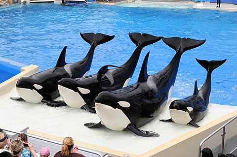 Trained killer whales (Orcinus orca), Shamu Stadium, SeaWorld, San Diego, California, USA