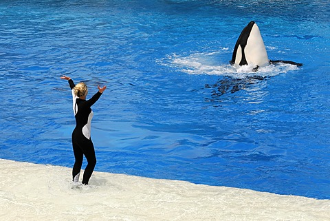 Trained killer whale, orca (Orcinus orca), Shamu Stadium, SeaWorld, San Diego, California, USA, North America