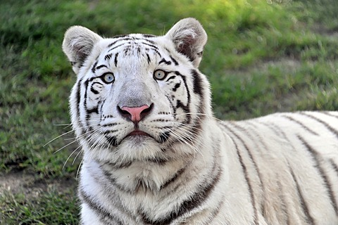 White Tiger (Panthera tigris tigris), Serengeti Park, Lower Saxony, Germany, Europe