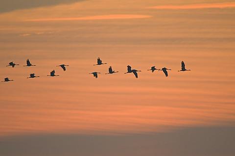 Common cranes (Grus grus) in flight, sunrise, Zingst peninsula, Mecklenburg-Western Pomerania, Germany, Europe