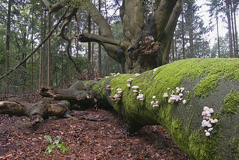 Porcelain Fungus (Oudemansiella mucida), Tinner Loh, Haren, Emsland region, Lower Saxony, Germany, Europe