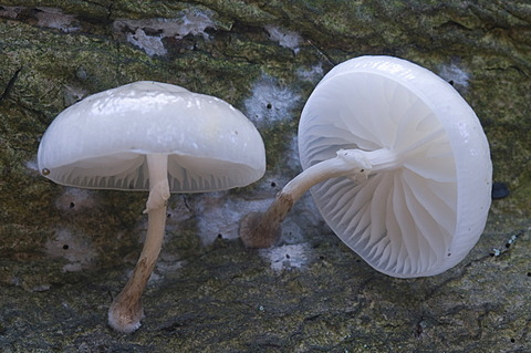 Porcelain mushrooms (Oudemansiella mucida), Tinner Dose-Sprakeler Heide nature reserve, Haren, Emsland, Lower Saxony, Germany, Europe