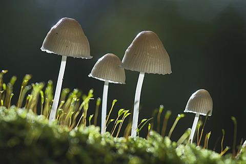 Mycenoid mushrooms (Mycena sp.), Tinner Loh nature reserve, Haren, Emsland, Lower Saxony, Germany, Europe