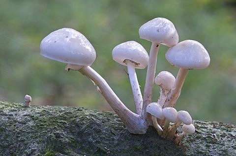 Porcelain mushrooms (Oudemansiella mucida), Tinner Loh nature reserve, Haren, Emsland, Lower Saxony, Germany, Europe