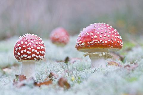 Fly Agaric mushrooms (Amanita muscaria), Haren, Emsland, Lower Saxony, Germany, Europe