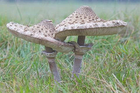Parasol mushroom (Macrolepiota procera), Oberlangen, Emsland, Lower Saxony, Germany, Europe