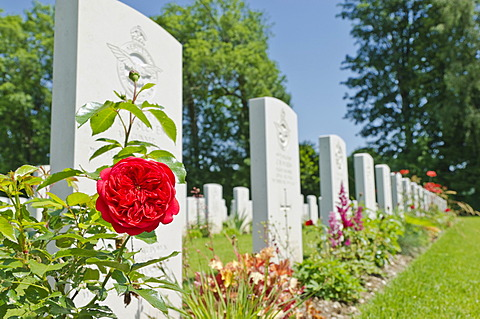Red rose, Durnbach War Cemetery, the final resting place for 2960 soldiers who died in WW2, Duernbach, Gmund am Tegernsee, Bavaria, Germany, Europe