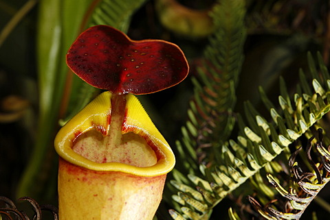 Carnivorous pitcher plant (Nepenthes madagascariensis), Fort Dauphin, Taolanaro, South Madagascar, Madagascar, Africa