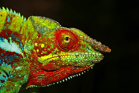 Panther Chameleon (Furcifer pardalis), Ankify colour variation, portrait, Madagascar, Africa, Indian Ocean