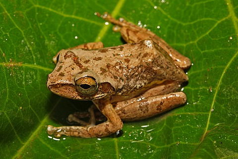 Madagascar tree frog species (Boophis tephraeomystax), Montagne d'Ambre National Park, Madagascar, Africa, Indian Ocean