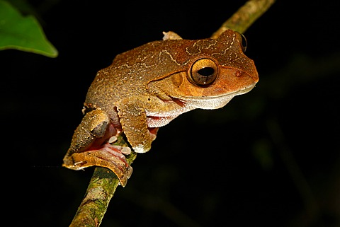 Madagascar Tree Frog (Boophis sp.), Montagne d'Ambre National Park, Africa, Indian Ocean