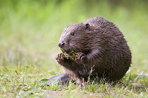 Young European beaver (Castor fiber) on solid ground feeding on a willow branch, Tirol, Austria, Europe