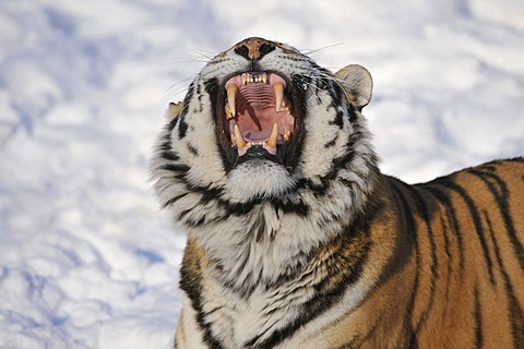 Siberian Tiger (Panthera tigris altaica), yawning, showing its teeth, in the snow, zoo, Germany, Europe