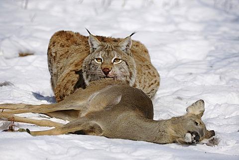 Lynx (Lynx lynx), male with prey, roe deer (Capreolus capreolus), enlosure, captive, Thuringia, Germany, Europe
