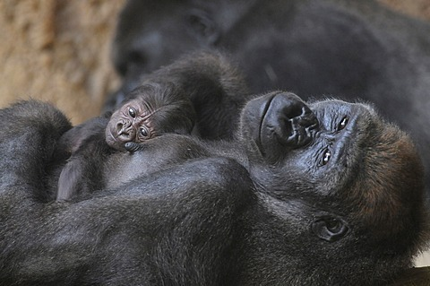 Western Lowland Gorilla (Gorilla gorilla gorilla), mother and baby resting, captive, African species, zoo animals, Lower Saxony, Germany, Europe
