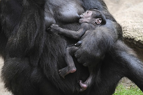 Western Lowland Gorilla (Gorilla gorilla gorilla), baby suckling milk from its mother, captive, African species, zoo animals, Lower Saxony, Germany, Europe