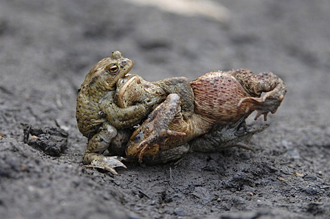 Common Toads (Bufo bufo), two males fighting over a female, Thuringia, Germany, Europe