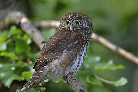 Pygmy Owl (Glaucidium passerinum), Central Europe's smallest owl, Bavarian Forest National Park, Germany, Europe