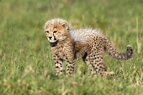 Cheetah (Acinonyx jubatus), cub