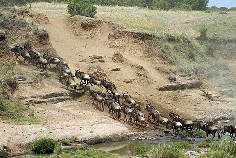 Migrating Wildebeest (Connochaetes taurinus), Africa