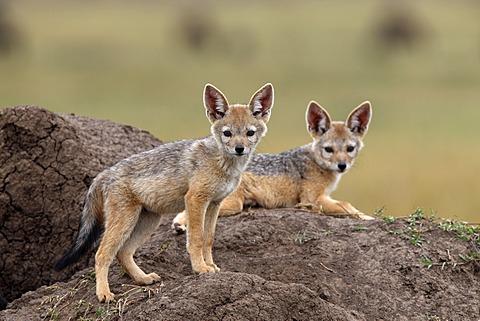 Black-backed Jackal (Canis mesomelas) pups, Masai Mara, Kenya, Africa